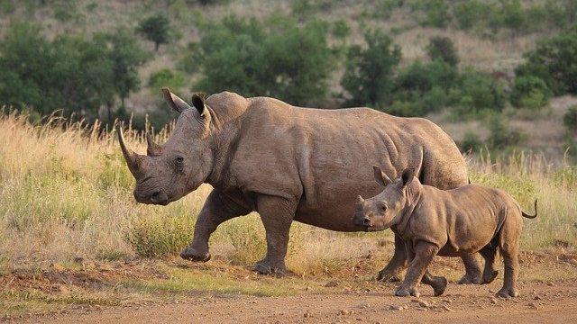 white-rhino-4477306_640